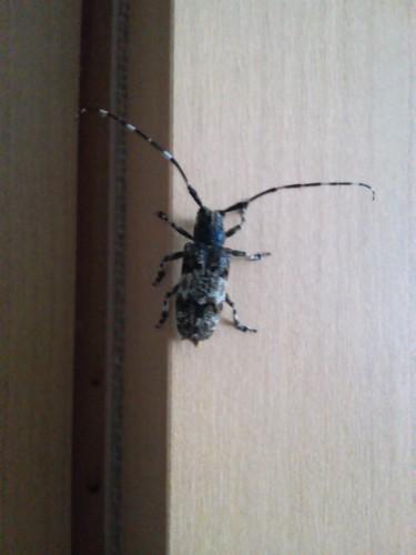 変な虫(カミキリ?)