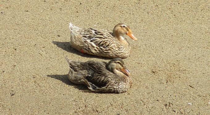 鴨の夫婦?