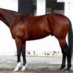 ジャパンカップ2016予想に ディーマジェスティの近走評価と馬の特徴
