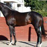 マイルチャンピオンシップ2016予想に イスラボニータの近走評価と馬の特徴
